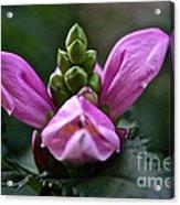 Pink Turtlehead Acrylic Print