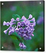 Pink Virginia Bluebells 1c Acrylic Print