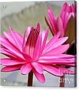 Pink Water Lily Duo Acrylic Print