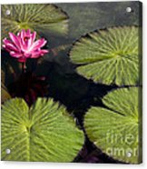 Pink Water Lily I Acrylic Print
