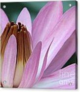 Pink Water Lily Macro Acrylic Print by Sabrina L Ryan