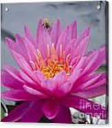 Pink Water Lily Rose Arey With Bee Acrylic Print