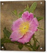 Pink Wild Rose Acrylic Print
