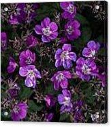 Pinkish-purple Wildflowers Geranium Acrylic Print