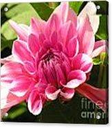Pinky Pink Acrylic Print