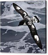 Pintado Petrel - Ancient Mariner Acrylic Print