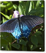 Pipevine Swallowtail Din003 Acrylic Print