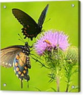 Pipevine Swallowtails In Tandem Acrylic Print