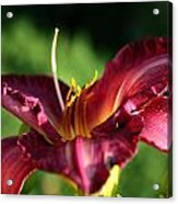 Pistons Of The Pink Yellow Lily Acrylic Print
