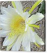 Pitaya Flower Acrylic Print