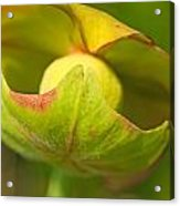Pitcher Plant Flower Acrylic Print