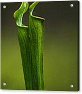 Pitcher Plants 2 Acrylic Print