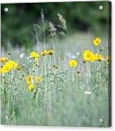 Plains Yellow Daisy Acrylic Print
