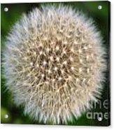 Planet Dandelion Acrylic Print