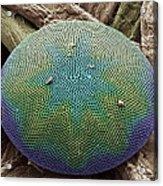 Planktonic Diatom Alga, Sem Acrylic Print by Steve Gschmeissner