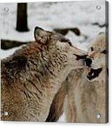Playful Wolves Acrylic Print