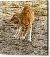 Playful Yellow Kitty Acrylic Print