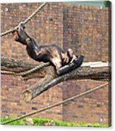 Playing Chimp I Acrylic Print