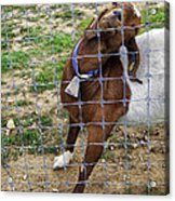 Please Exonerate Me 2 - Billy Goat Acrylic Print