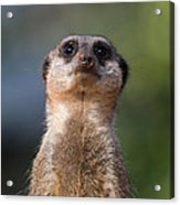 Please Sir Can I Have Some More Acrylic Print by Julie L Hoddinott