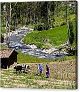 Ploughing With Oxen In Ecuador II Acrylic Print