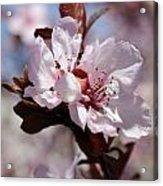 Plum Blossoms 10 Acrylic Print