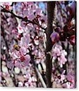 Plum Blossoms 6 Acrylic Print