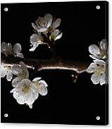 Plum Tree Spring Blossum Acrylic Print