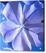 Plumbago Flowers Acrylic Print by Catherine Natalia  Roche