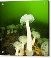 Plumose Sea Anemones, Alaska, Usa Acrylic Print