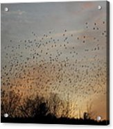 Poetic Swarms Acrylic Print
