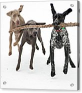 Pointers Rule, Weimaraners Drool Acrylic Print by Michael Fiddleman, fiddography.com