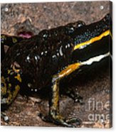 Poison Arrow Frog With Tadpoles Acrylic Print