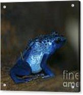 Poisonous Blue Frog 03 Acrylic Print