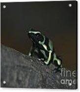 Poisonous Green Frog 03 Acrylic Print