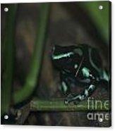 Poisonous Green Frog 04 Acrylic Print