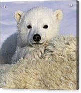 Polar Bear Cub Canada Acrylic Print