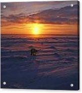 Polar Bear In Arctic Sunset Acrylic Print