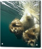 Polar Bear Swiming Away Wager Bay Canada Acrylic Print