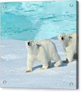 Polar Bear, Ursus Maritimus Acrylic Print
