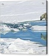 Polar Bear, Ursus Maritimus Acrylic Print by Ralph Lee Hopkins