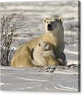 Polar Bear With Cub, Watchee Acrylic Print
