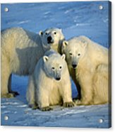 Polar Bear With Cubs Acrylic Print