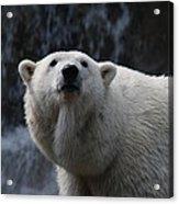 Polar Bear With Waterfall Acrylic Print