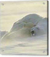 Polar Bears Sleeping At Sunset Acrylic Print