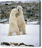 Polarbears, Churchill, Manitoba Acrylic Print