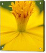Pollen Cosmos  Acrylic Print
