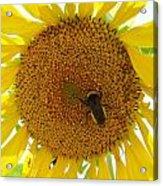 Pollen Hunter Acrylic Print