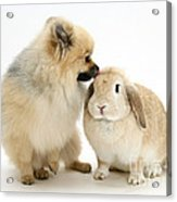 Pomeranian Dog And Rabbit Acrylic Print