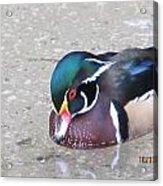 Pond Duck Acrylic Print